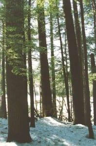 Old growth hemlock and pine, Ashfield, MA
